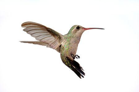 Isolated Female Broad-billed Hummingbird (Cynanthus latirostris) in flight 版權商用圖片