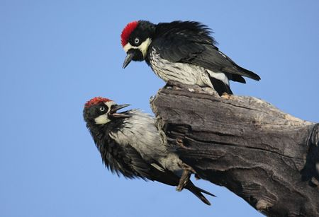 Pair of Acorn Woodpeckers (Melanerpes formicivorus) on a tree with a blue sky background