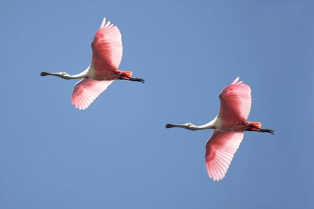 플로리다 에버글레이즈 이상의 비행 Roseate 저어새 (Platalea ajaja)의 무리