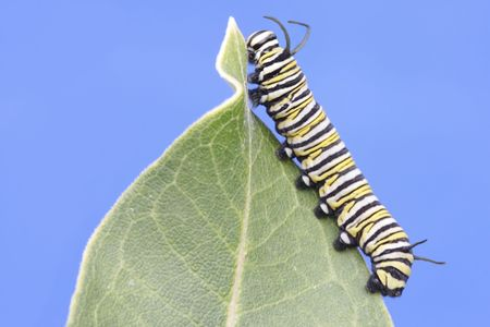 plexippus: Monarch Butterfly Caterpillar (danaus plexippus) on a milkweed leaf