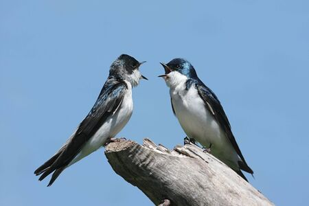 swallow: Paar Tree Swallows (Tachycineta bicolor) op een boomstronk
