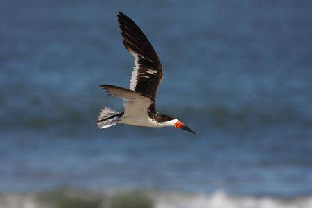 skimmer: Black Skimmer (Rynchops niger) in flight over the Atlantic Ocean Stock Photo