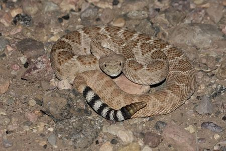coldblooded: Western Diamondback Rattlesnake (Crotalus atrox) coiled to strike Stock Photo