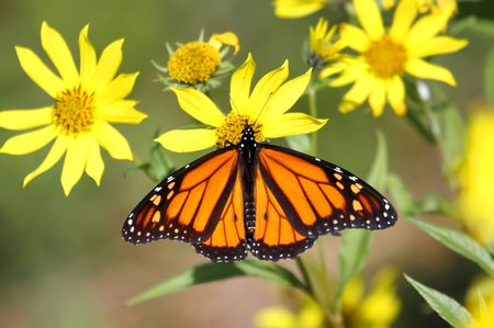 Monarch Butterfly (danaus plexippus) on Woodland Sunflowers (Helianthus divaricatus) photo
