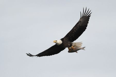 푸른 하늘에 비행 중에 물고기를 들고 성인 대머리 독수리 (haliaeetus leucocephalus)