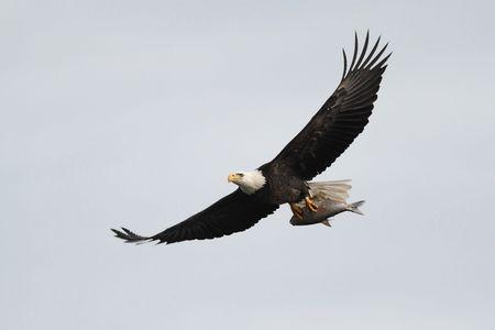 hawks: Adulti Bald Eagle (haliaeetus leucocephalus) che trasportano un pesce in volo contro un cielo blu