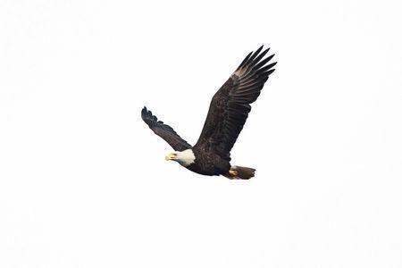 Bald Eagle (Haliaeetus leucocephalus) in flight isolated on a white background