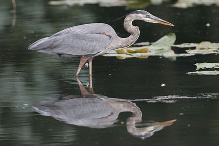 herodias: Great Blue Heron (Ardea Herodias) fishing in a pond with a reflection