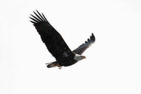 Bald Eagle (Haliaeetus leucocephalus) in flight carrying a fish isolated on a white background 스톡 콘텐츠