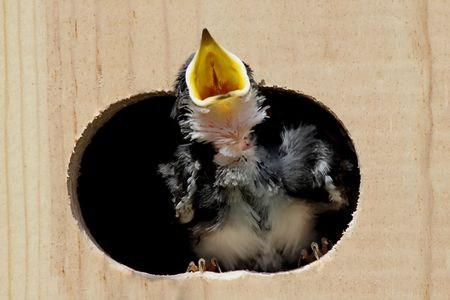Baby Tree Swallow (tachycineta bicolor) in a bird house begging for food photo