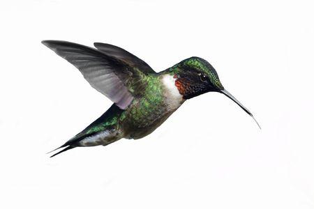 Macho Ruby ? throated Hummingbird (archilochus colubris) en vuelo aislado en un fondo blanco Foto de archivo