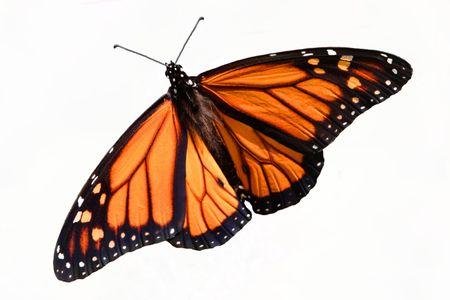 モナーク蝶 (ダナオス plexippus)、白い背景で隔離