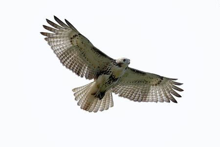 Red-tailed Hawk (buteo jamaicensis) isolated on white Banco de Imagens