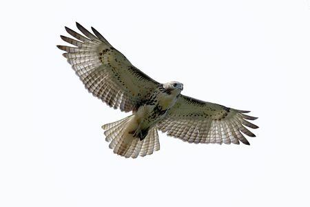 aguila volando: Rojo ? cola Hawk (buteo jamaicensis) aislado en blanco