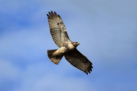 Red-tailed Hawk (buteo jamaicensis) flying against a blue sky 版權商用圖片