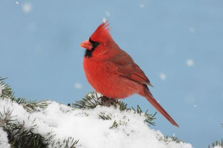 Male Northern Cardinal (cardinalis cardinalis) on a Spruce branch covered with snow photo
