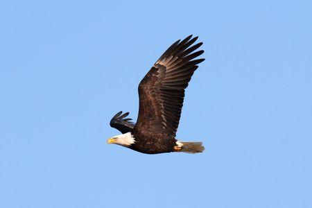 haliaeetus: Adult Bald Eagle (haliaeetus leucocephalus) in flight against a blue sky Stock Photo