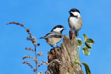 Pair of Black-capped Chickadees (poecile atricapilla) on a log with a blue sky background
