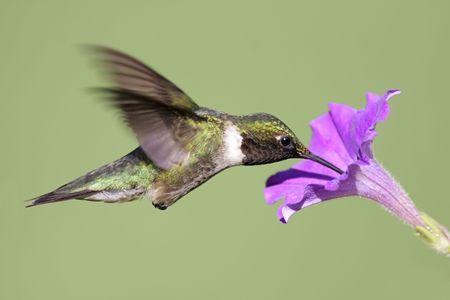 Male Ruby-throated Hummingbird (archilochus colubris) in flight with a purple flower and a green background photo