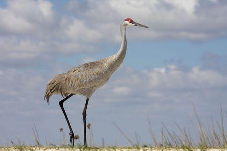 sandhill crane: Sandhill Crane (Grus canadensis) in the Florida Everglades