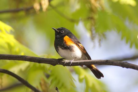 American Redstart Warbler (Setophaga ruticilla) in early spring  Stock Photo - 6186217