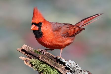 ornithology: Male Northern Cardinal (cardinalis) on a stump with moss and lichen and a colorful background Stock Photo