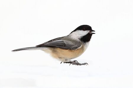 Black-capped Chickadee (poecile atricapilla) - Isolated on a white background 스톡 콘텐츠
