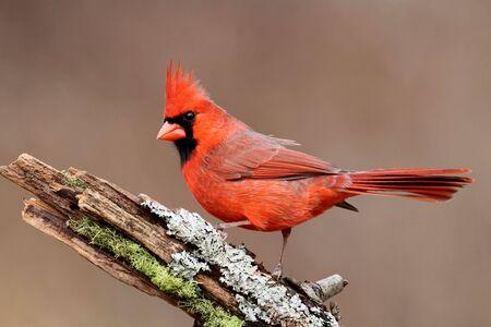 모스 및 이끼와 화려한 배경 그 루터기에 남성 북부 추기경 (cardinalis)