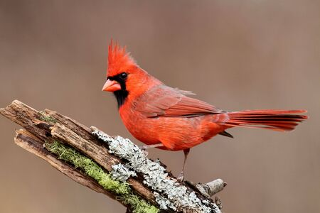 cardinal bird: Male Northern Cardinal (cardinalis) on a stump with moss and lichen and a colorful background Stock Photo