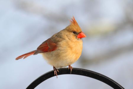 Female Northern Cardinal (cardinalis) on a perch in winter photo