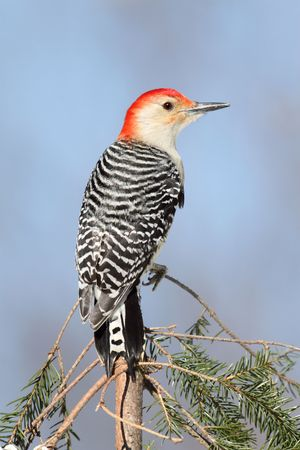 Red-bellied Woodpecker (Melanerpes carolinus) on a branch with a blue background