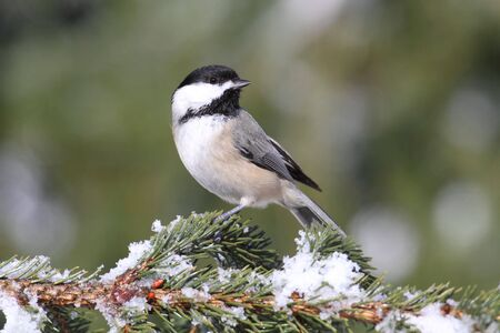Black-capped Chickadee (poecile atricapilla) on a snow-covered branch Stock Photo - 6430111