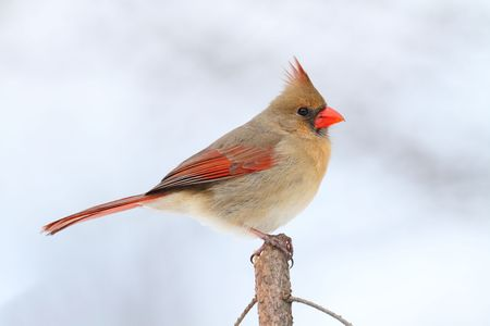 Female Northern Cardinal (cardinalis cardinalis) on a Spruce branch with snow in the background photo