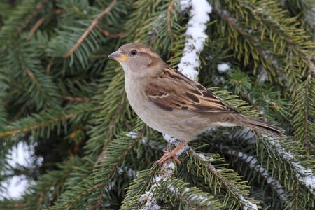 Female House Sparrow (Passer domesticus)  perched on a snow covered branch photo