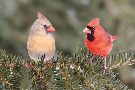 Pair of Northern Cardinals (cardinalis) on a branch with some snow and a green background photo