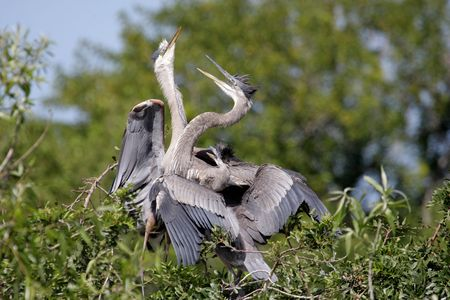 Great Blue Heron (Ardea Herodias) on a nest with babies in the Florida Everglades Stock Photo - 6463257