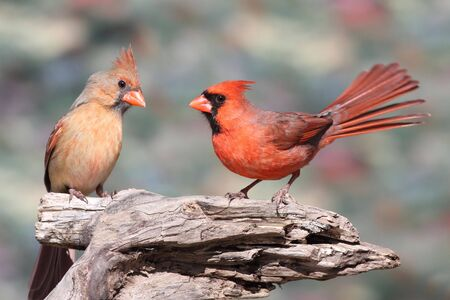 female cardinal: Pair of Northern Cardinals (cardinalis) on a branch with a colorful background Stock Photo
