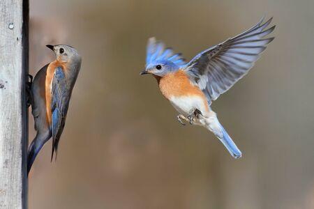 Pair of Eastern Bluebird (Sialia sialis) on a birdhouse Banco de Imagens