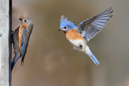 Pair of Eastern Bluebird (Sialia sialis) on a birdhouse Stock Photo