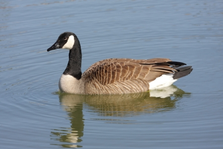 canadensis: Canada Goose (Branta canadensis) swimming in blue water Stock Photo