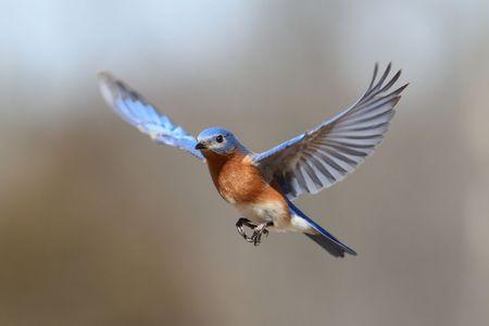 pajaros volando: Bluebird oriental masculina (Sialia sialis) en vuelo  Foto de archivo