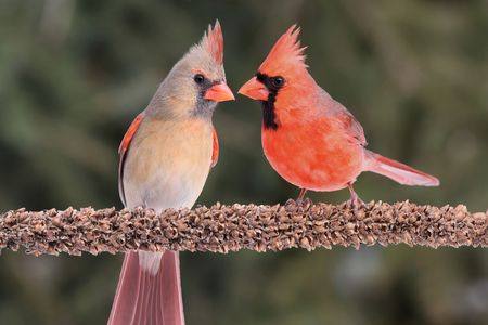 Pair of Northern Cardinals (cardinalis) on a branch green background photo
