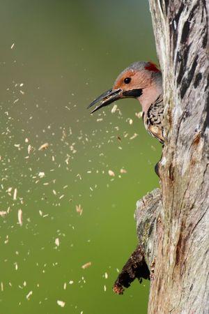 tremolare: Northern Flicker (Colaptes auratus) su un tronco d'albero di compensazione in legno da un foro nido Archivio Fotografico