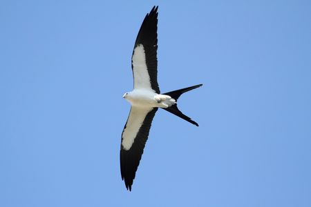 flying a kite: Swallow-tailed Kite (Elanoides forficatus) in flight hunting in the Florida Everglades