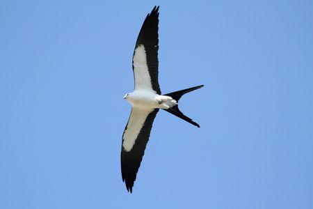 papalote: Tijereta Kite (Elanoides forficatus) en la caza de vuelo en los Everglades de Florida Foto de archivo