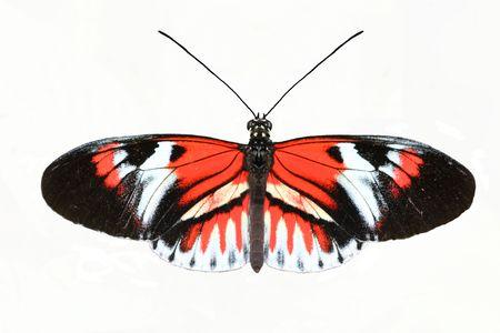 bug key: Piano Key butterfly (Heliconius melpomene) isolated on a white background Stock Photo