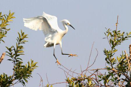 Snowy Egret (Egretta thula) in flight in the Florida Everglades Stock Photo