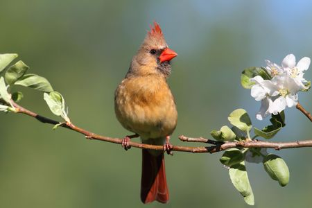 female cardinal: Female Northern Cardinal (cardinalis) in an Apple Tree with blossoms Stock Photo