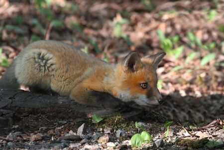 Red Fox Kit (vulpes) playing near the den photo