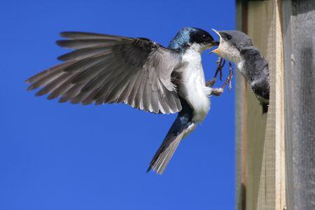Tree Swallow (Tachycineta bicolor) voeden van hongerige baby's